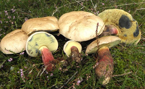 Skønfodet Rørhat d. 3 sep. i Hoverdal Plantage