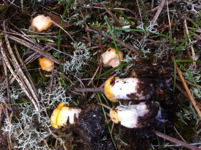 små kantareller i Hoverdal ikke klar til høst